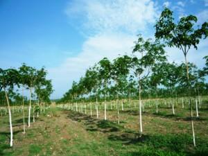 LAF đang nghiên cứu trồng 300-500 ha cao su