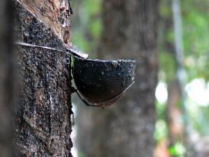 Bón phân cho cây cao su kinh doanh như thế nào?
