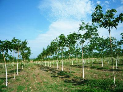 Làm giàu từ trồng xen canh cây cà phê - cao su