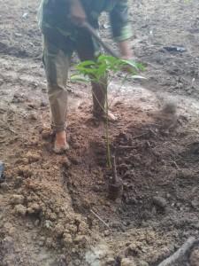 Trồng cây cao su lh 90952 tại bến cát bình dương