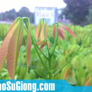 cung cấp cây giống cao su RRIV 209